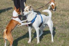 Basenji dog jump near mixed-breed bigger dog. Young basenji dog jump near mixed-breed bigger dog stock image