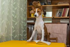 Young Basenji is trying to feel himself as a leader Royalty Free Stock Photography