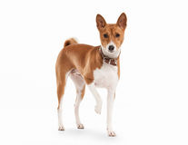 Young Basenji on white background Royalty Free Stock Image