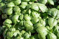 Young basil plants closeup Stock Photos
