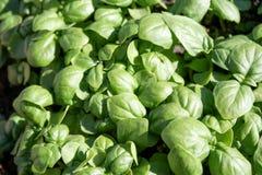 Young basil plants closeup Stock Photos