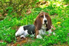 Young basset hound Royalty Free Stock Images