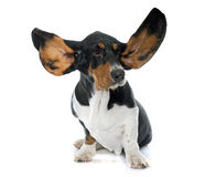 Young Basset Hound Royalty Free Stock Photo