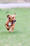 Young basset hound mix dog running in the grass Royalty Free Stock Image