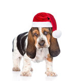 Young basset hound puppy in red santa hats. isolated on white Stock Photos