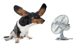 Young Basset Hound and ventilator. Basset Hound in front of white background Royalty Free Stock Photos