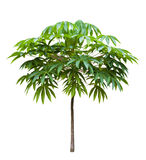 Young Bastard poom tree Stock Image