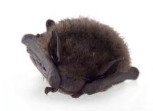 Young bat, sleeping. Royalty Free Stock Photo