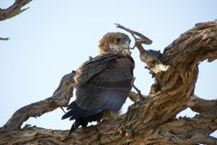 Young Bateleur Stock Photo