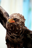 Young bateleur eagle Royalty Free Stock Images