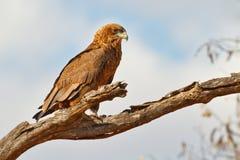 Young bateleur eagle Royalty Free Stock Photos