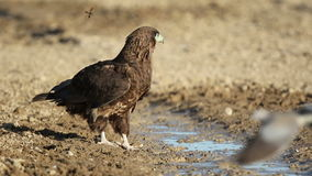 Young bateleur eagle stock video footage