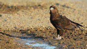 Young bateleur eagle. Young, immature bateleur eagle Terathopius ecaudatus at a waterhole, Kalahari desert, South Africa stock video footage