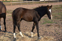 A young bay colt. A baby bay colt with a white blaze standing in a field eating hay Royalty Free Stock Image
