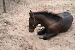 A young bay colt laying Stock Photos