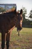 A young bay colt. Looking at the camera eating hay Royalty Free Stock Image