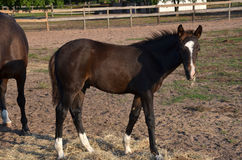 Young bay colt Stock Photography