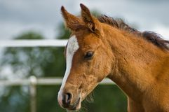 Young bay horse foal close up in profile. A farm setting is in the background Stock Photo