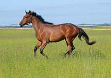 The young bay horse gallops. The young horse of bay colour gallops on a thick green grass on a pasture Stock Image