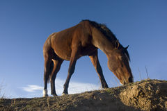 Young bay horse grazing in a pasture. Young bay horse (stud colt) grazing in a pasture - low angle view against blue sky royalty free stock image