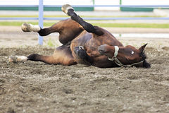 Young bay horse lying in sand Royalty Free Stock Image