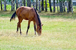 Young bay horse in the meadow Royalty Free Stock Image
