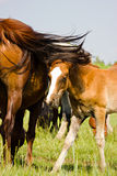 The young bay horse near his mother Stock Photography