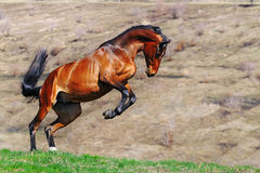 Young bay horse rearing in field stock photos