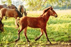 a young bay Oldenburg Foal with a small white spot is running on a green summer meadow royalty free stock image