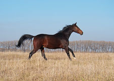 The young bay stallion  gallops on the field. The young bay stallion of the Ukrainian sporting breed gallops on the field Stock Photo
