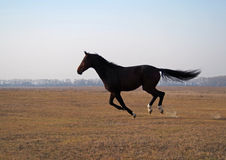 The young bay stallion  gallops on the field Royalty Free Stock Photos