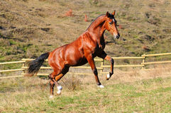 Young bay stallion in paddock Stock Images
