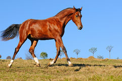 Young bay stallion in paddock Royalty Free Stock Photo