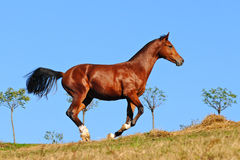 Young bay stallion in paddock Stock Photos