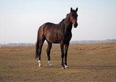 The young bay stallion  standing on the field Stock Image