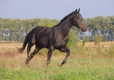 A young bay stallion trotting Royalty Free Stock Photography