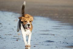 Young beagle on the beach Royalty Free Stock Images