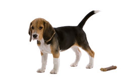 Young beagle with bone. Cute young beagle on white background with it's bone Stock Photography