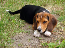 Young beagle cross pup Stock Photography