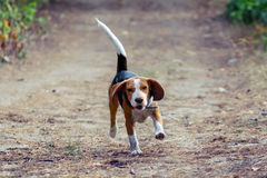 A young beagle dog hurtling fun into the forest. Royalty Free Stock Photography