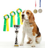Young beagle dog with medals and champion cup Stock Photo