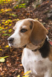 Young beagle dog Stock Image