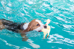 Young beagle dog playing toy in the swimming pool Royalty Free Stock Image