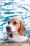 Young beagle dog playing toy in the swimming pool Stock Photo
