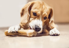 Young beagle gnaws bone Royalty Free Stock Image