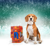 Young beagle with presents  Royalty Free Stock Photo