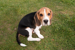 Young Beagle Puppy Stock Photo