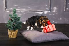 Beagle puppy sniffing gift box royalty free stock photo
