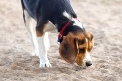 Young Beagle Stock Photo