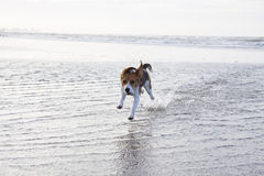 Young beagle in the water Royalty Free Stock Image